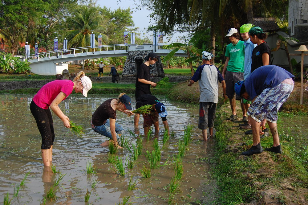 Langkawi, Laman Padi, Students planting Rice.JPG