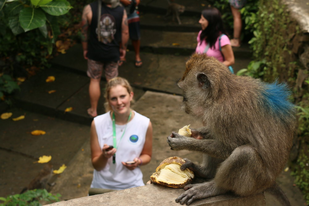 Monkey research in Bali