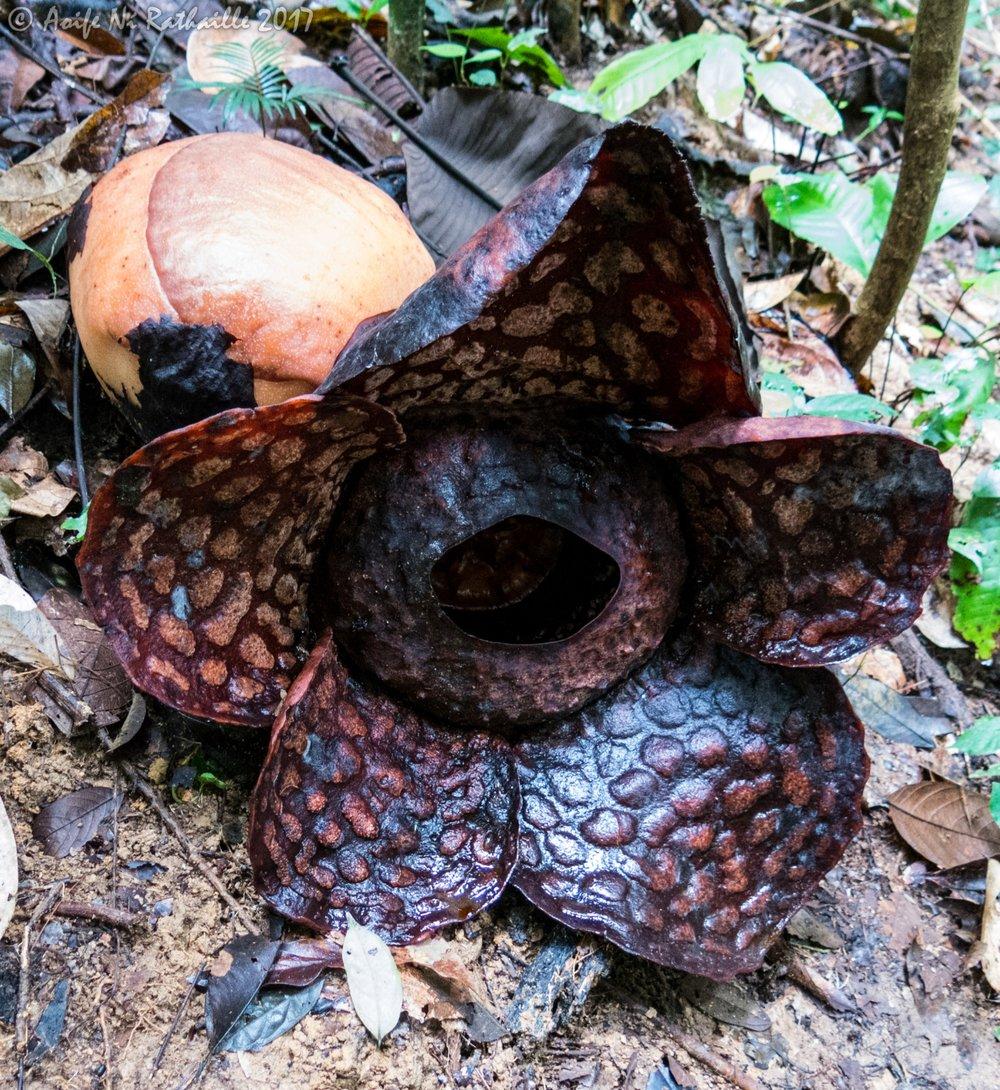 IMG_0561a_Rafflesia flower&bud.jpg