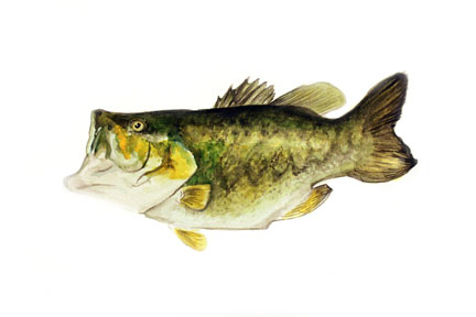 web.watercolor.2013.largemouthbass.jpg