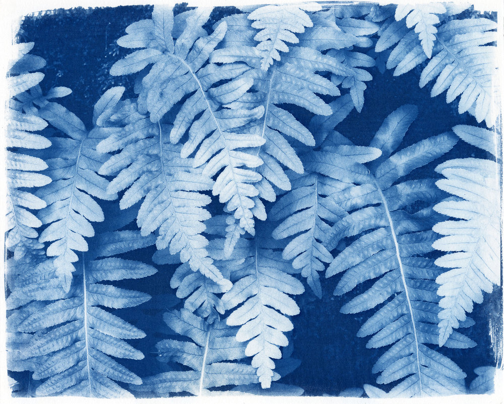 "Ferns  (Cyanotype Print, 8 x 10"")"