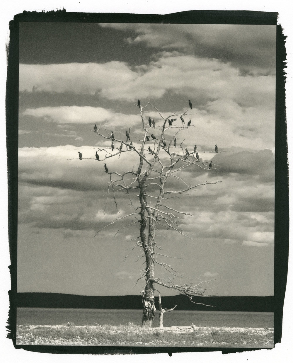 "Lake Hovsgol Tree and Birds, Mongolia  (Platinum/Palladium Print, 8 x 10"")"