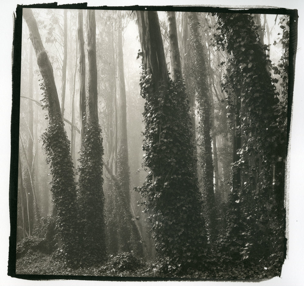"Trees and Ivy No.2  (Platinum/Palladium Print, 10"" x 10"")"