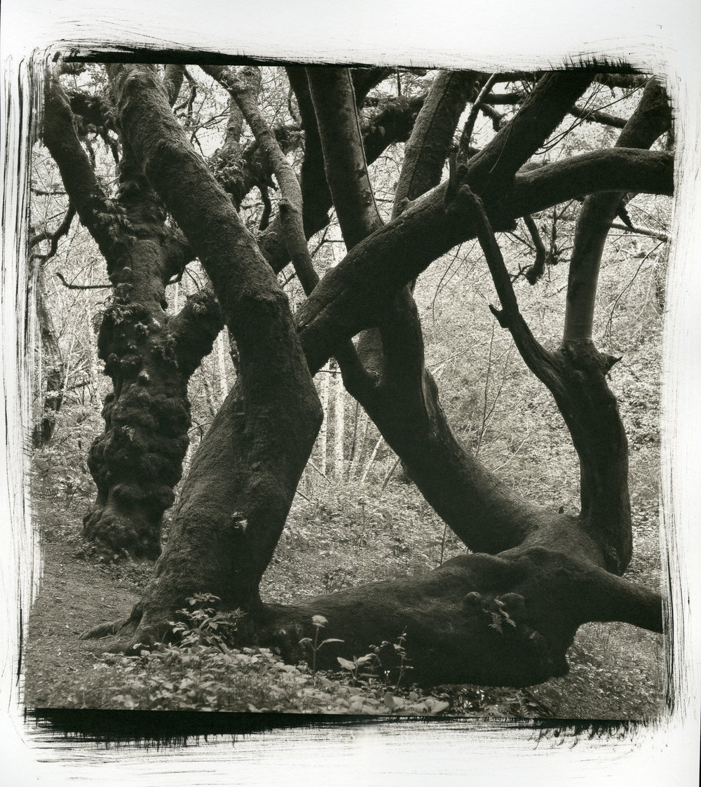 "Bear Valley Tree  (Platinum/Palladium Print, 10"" x 10"")"