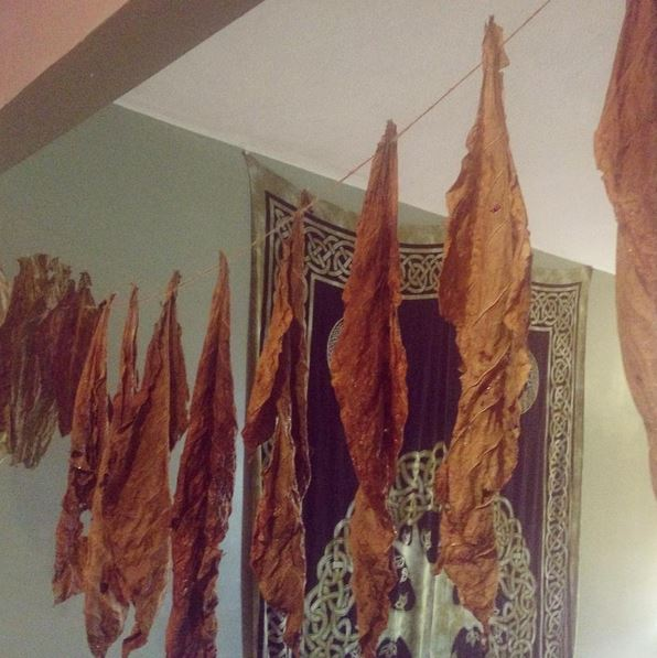 Kentucky Brown Tobacco hung to dry