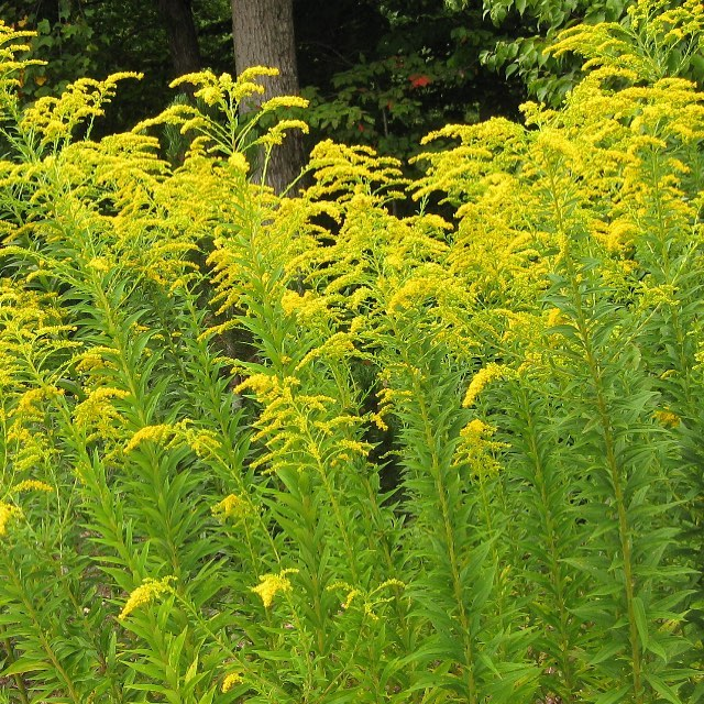 Goldenrod is a perennial plant that is well-known for its healing properties. This wild edible is a plant that reproduces through its roots, bulbs, stems and by its seed.  Goldenrod does not cause seasonal allergies as many tend to believe.  Rather, Ragweed is the culprit - which blooms at the same time.  All aerial parts of the Goldenrod plant can be used. The flowers are edible and make attractive garnishes on salads. Flowers and leaves (fresh or dried) are used to make tea. Leaves can be cooked like spinach or added to soups, stews or casseroles. Leaves can be blanched and frozen for later use in soups, stews, or stir fry throughout the winter or spring. . . .  #survival #nature #garden #gardening #edibleplants #plantidentification #eattheweeds #permaculture #plants #growyourownfood #eatlocal #foraging #plantsofinstagram #wildfood #realfood #forager #wildedibles #plantmedicine #medibles #herbalism #foragedfood #shtf