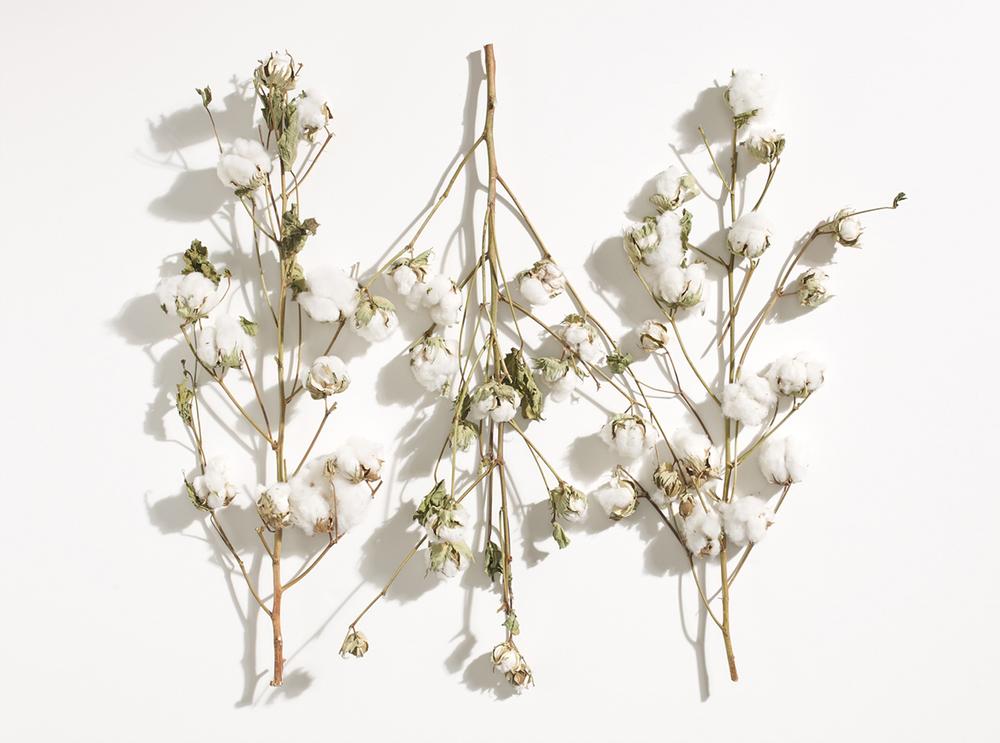 cotton branches.jpg