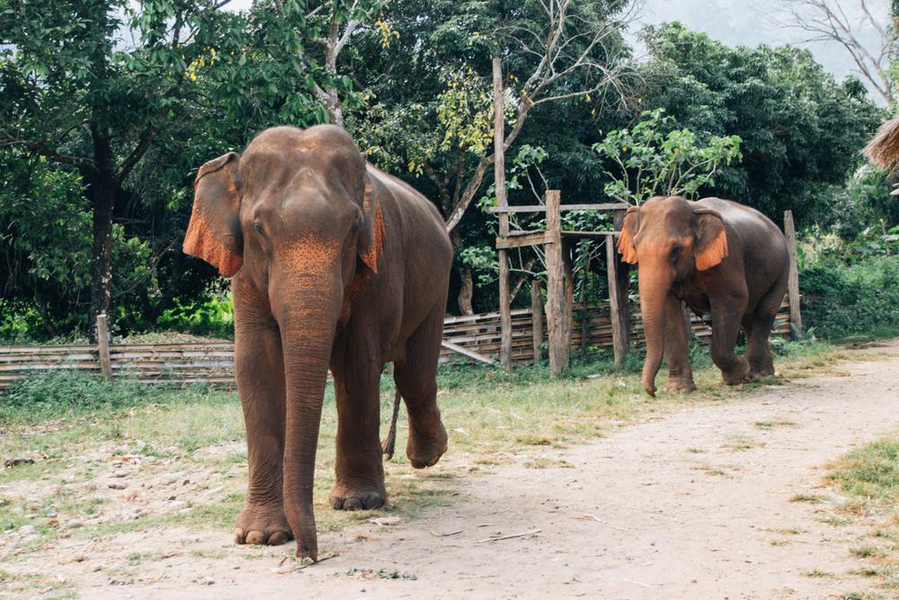 chiang mai elefante eduardo e monica