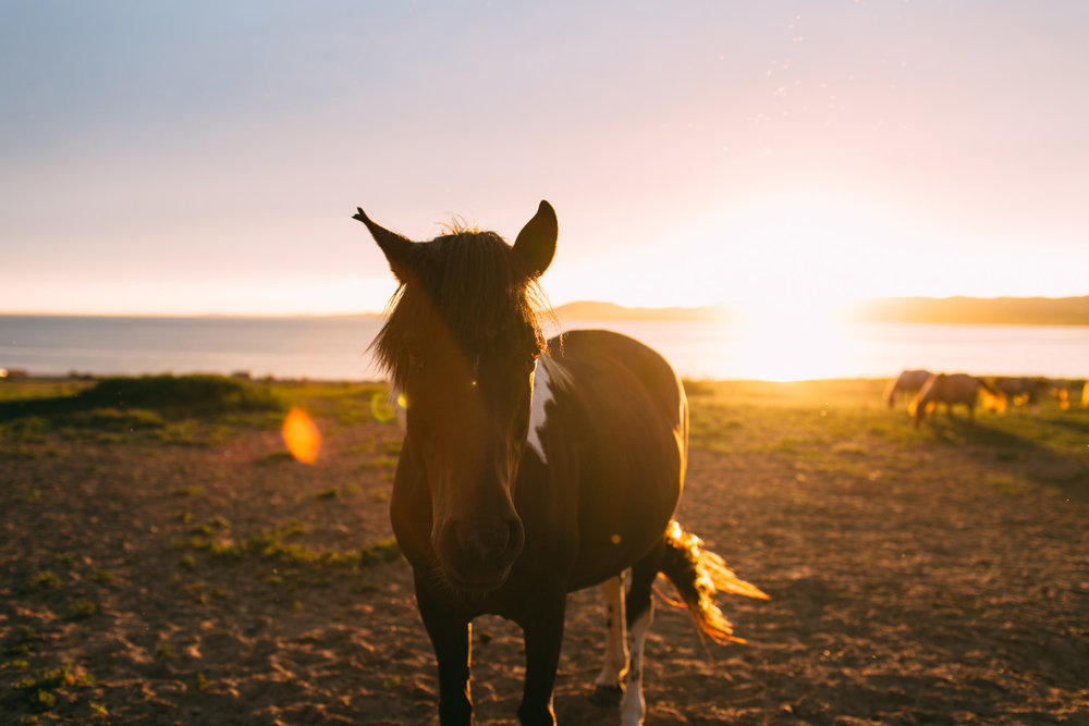 cavalos selvagens mongolia