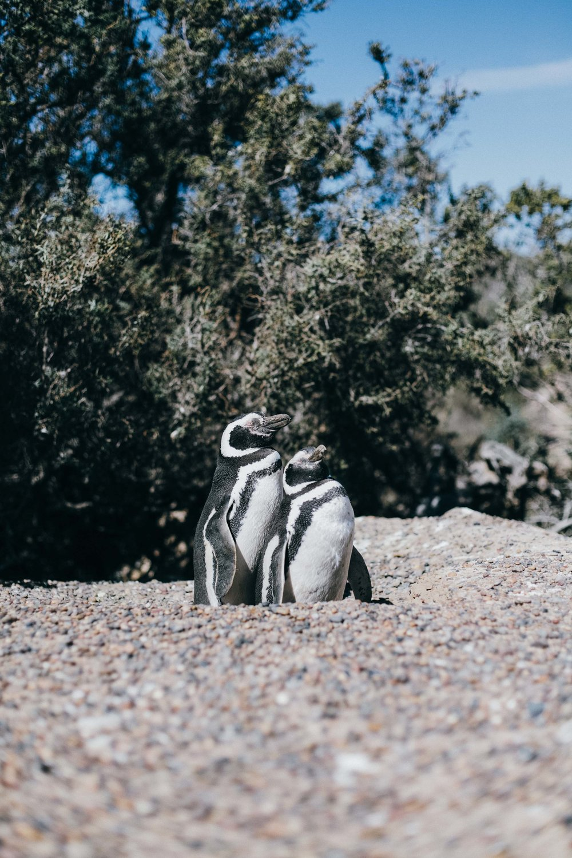 punta tombo patagonia argentina