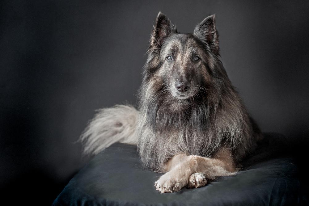 portraits sydney dogs.jpg