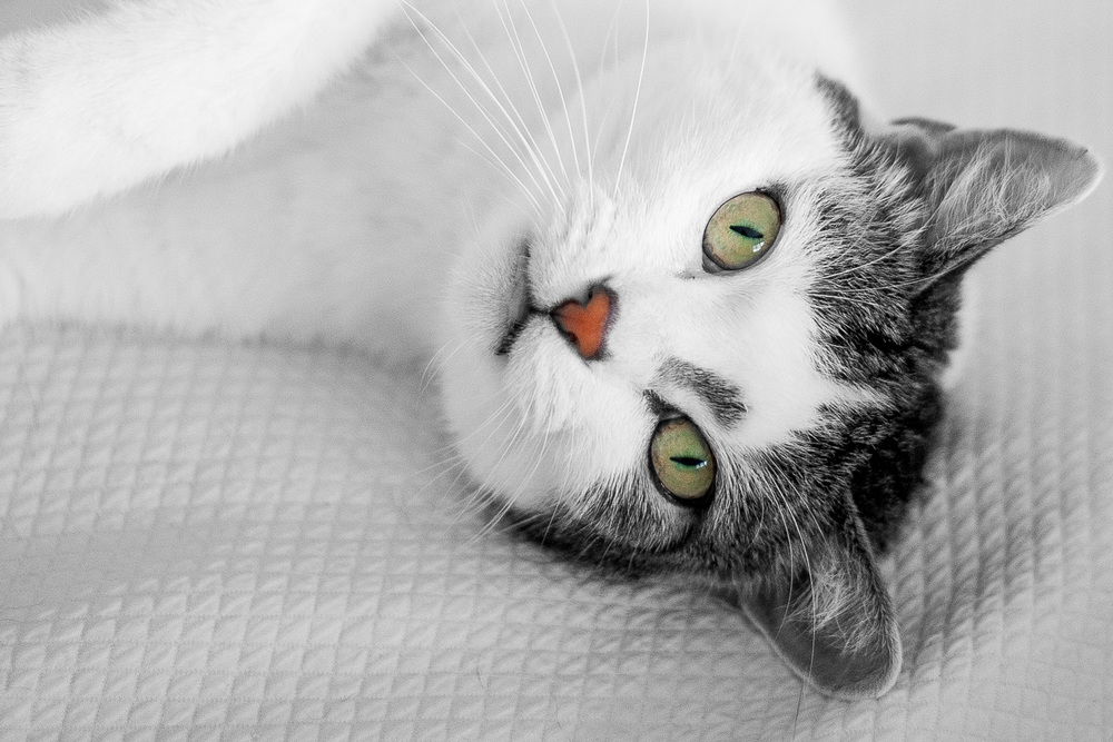 portraits sydney cats.jpg