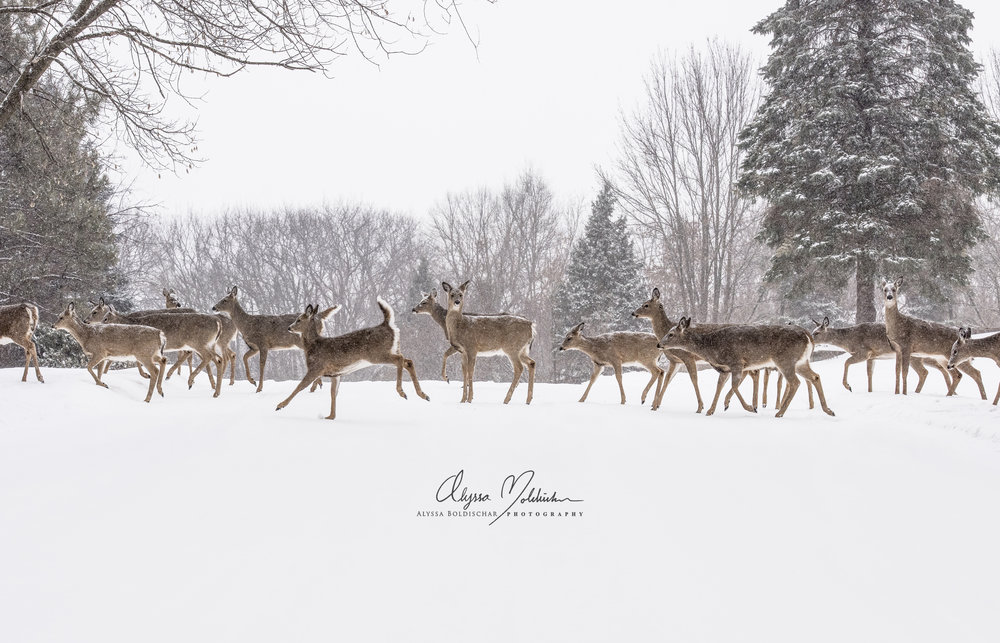 Deer Crossing - Alyssa Boldischar FINAL--to print-white-w-logo.jpg