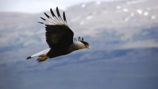 Caracara_in_flight.jpg