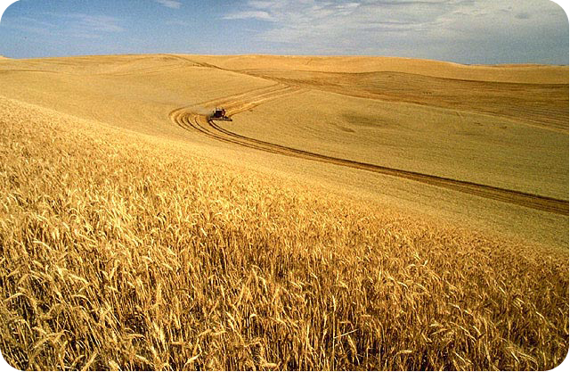 Wheat_harvest_r.jpg