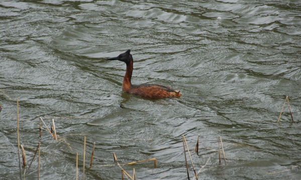 Great_Grebe.jpg