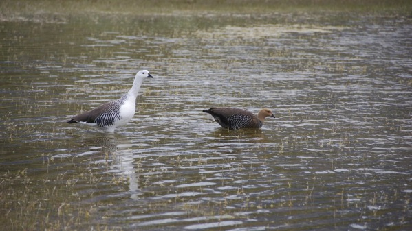 Upland_geese.jpg