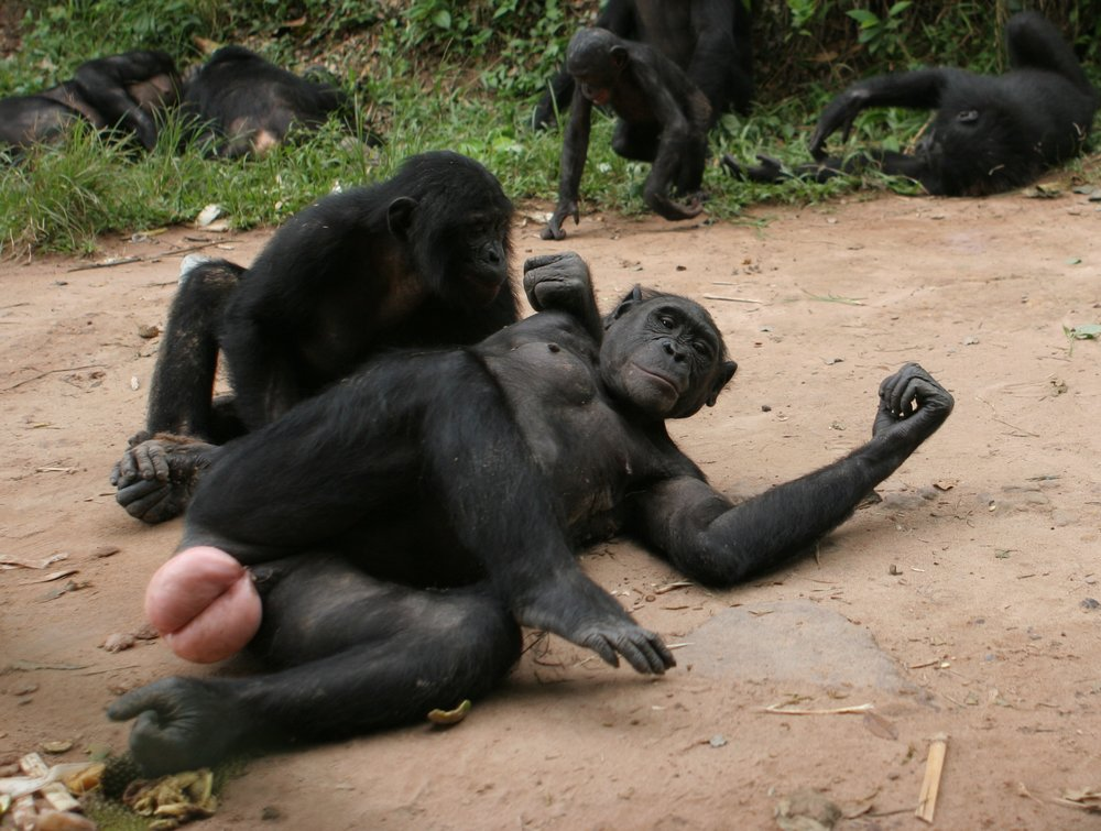 Female bonobo in full estrus cycle, Lola Ya Bonobo, Democratic Republic of the Congo, 2008