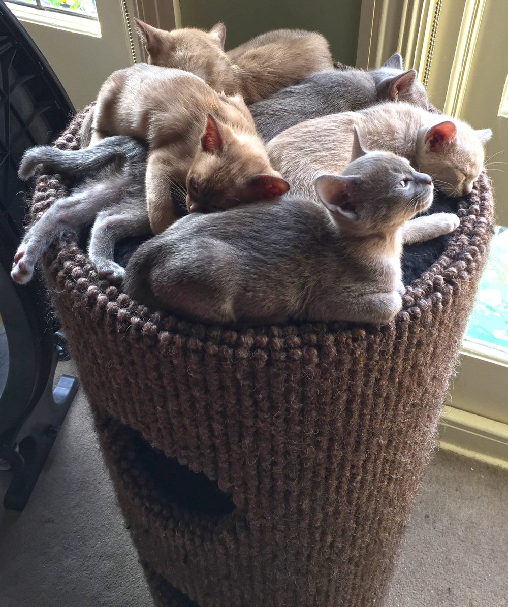 Pontsbright Burmese Litter