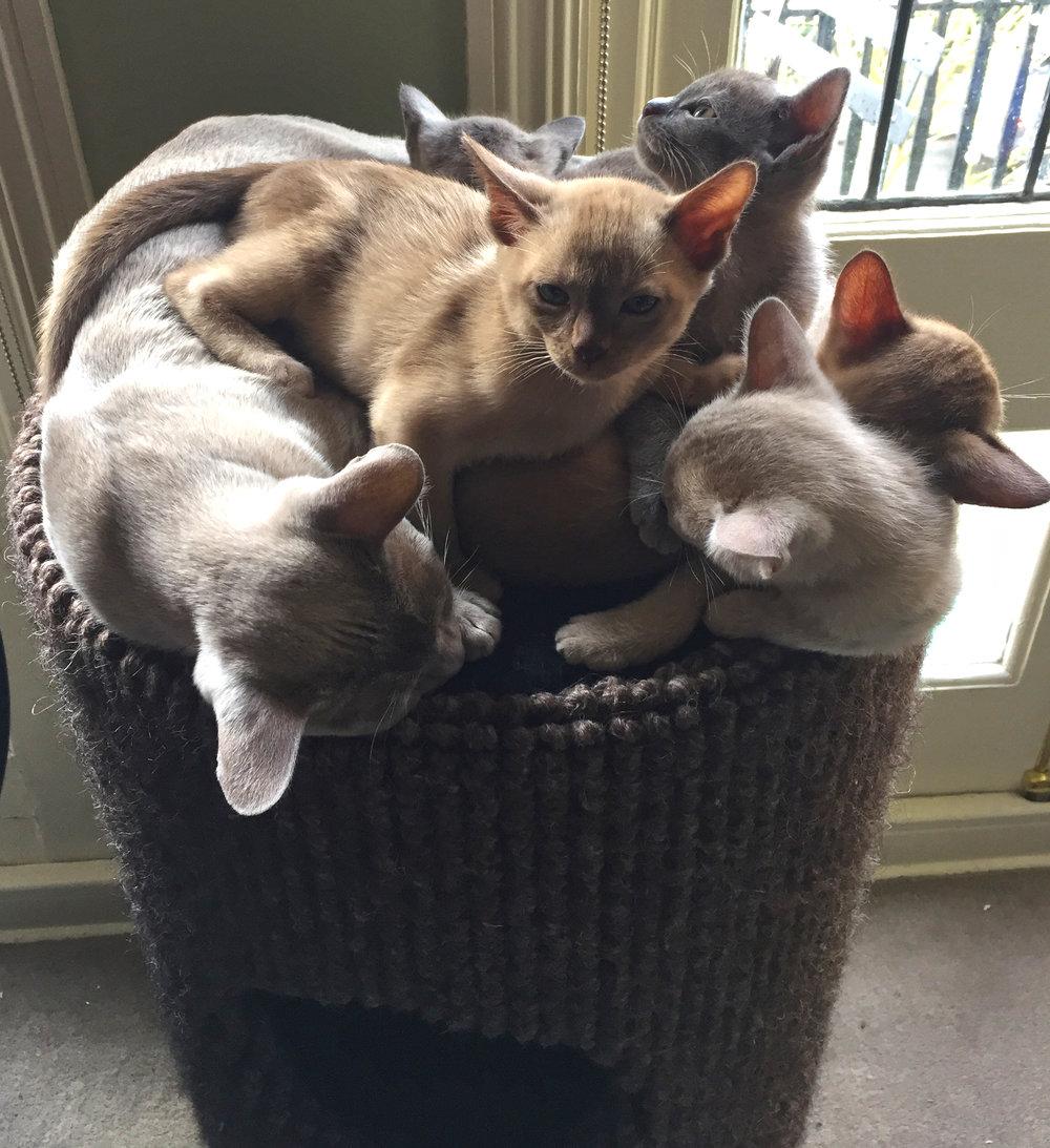 Pontsbright Burmese Kittens
