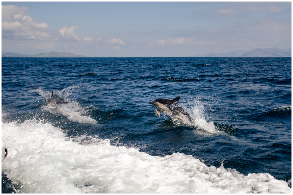 Dingle dolphins