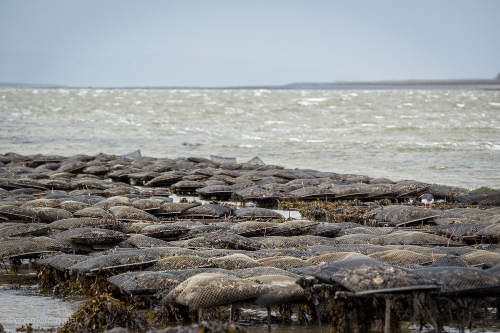 Oysterbeds