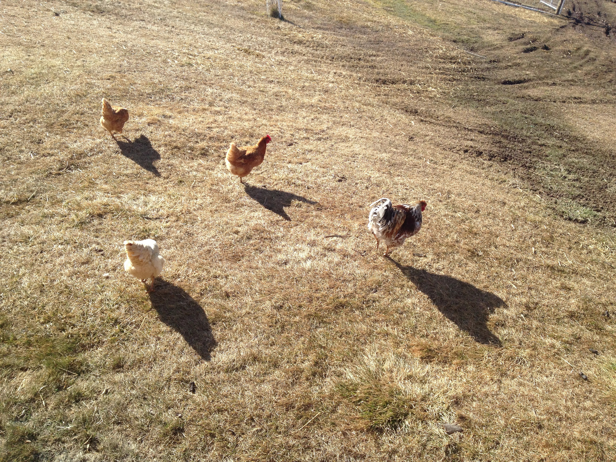 Chicken Shadows