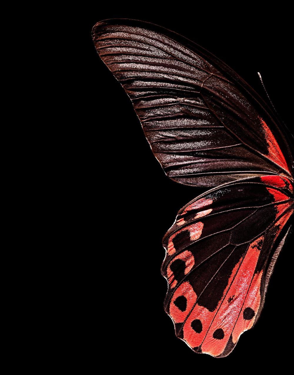 Red-Butterfly-wing.jpg