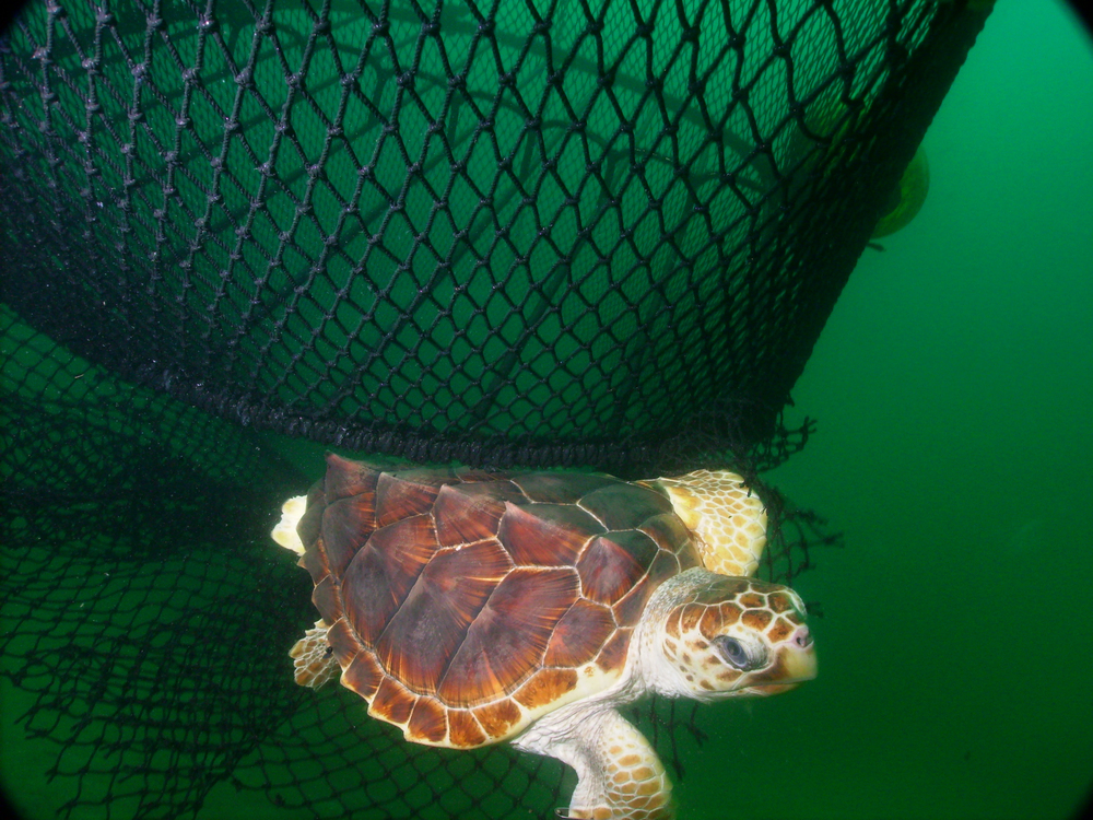 Loggerhead (Photo: NOAA)