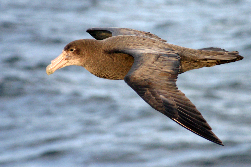 Giant petrels (Photos: Oliver Yates, BirdLife International)