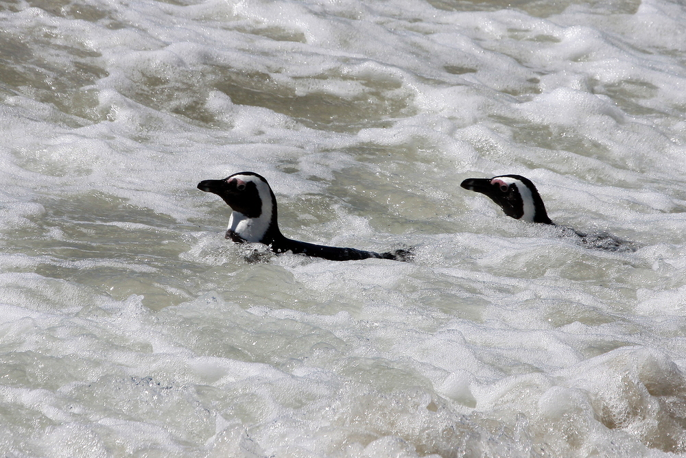 Penguins (Photo: John Paterson, ATF Namibia)