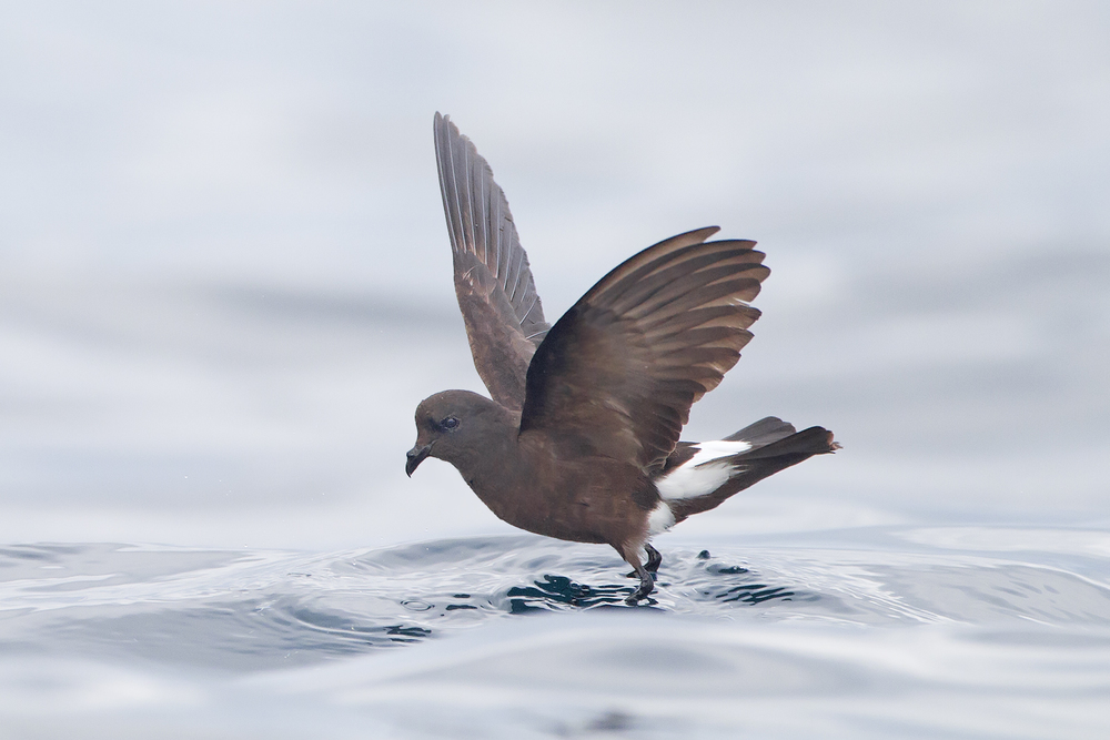 Storm Petrels (Photo: JJ Harrison)