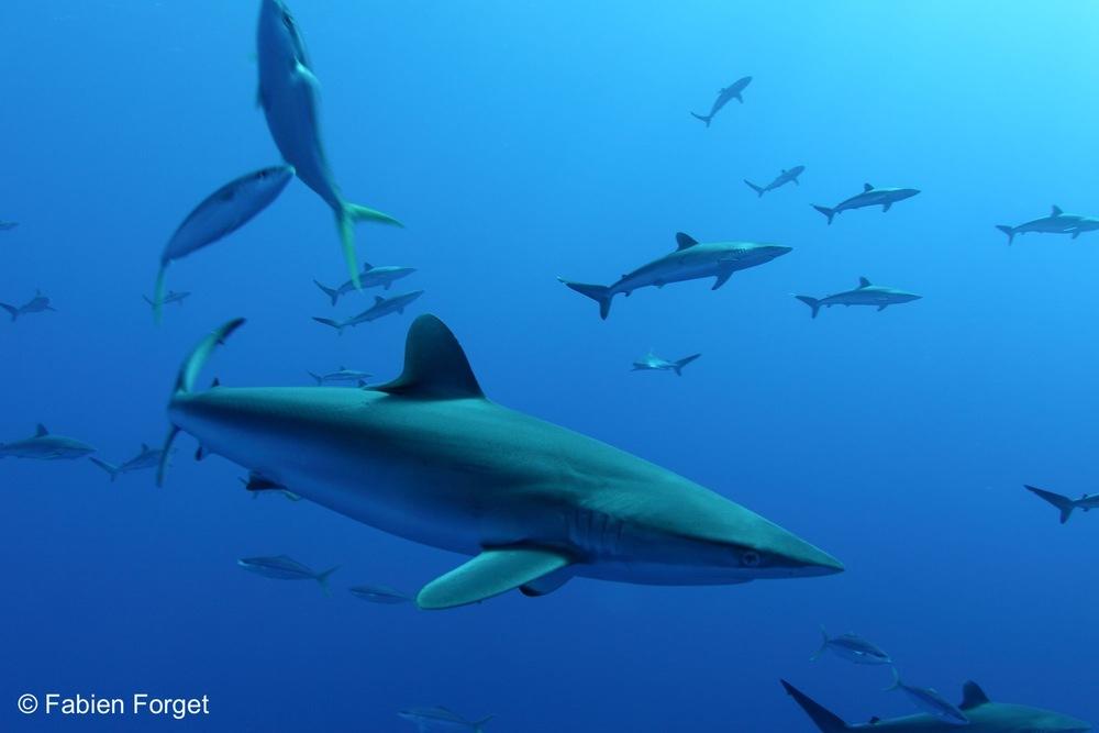 Silky Shark (Fabian Forget, ISSF)