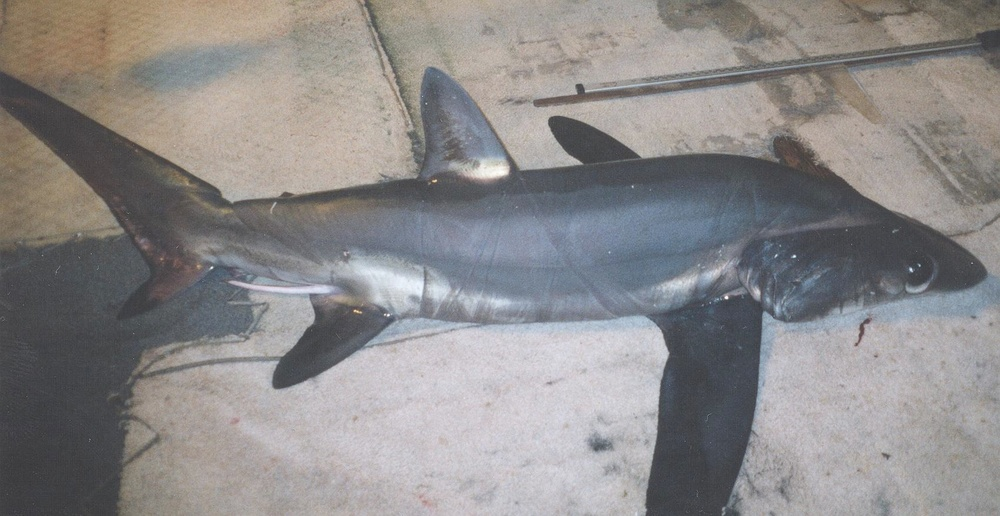 Bigeye Thresher Shark (NOAA)