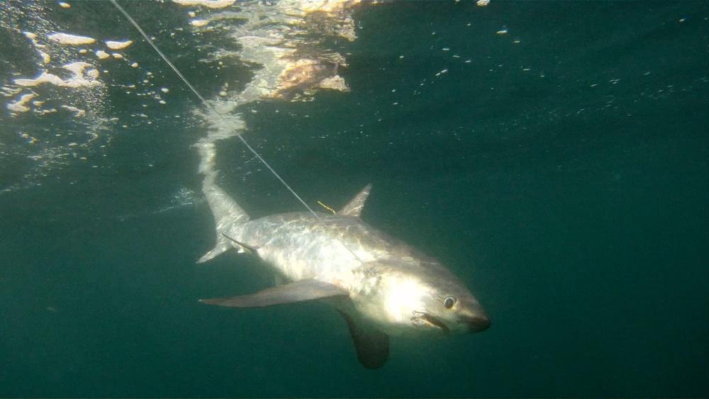 Hooked shark (NOAA)