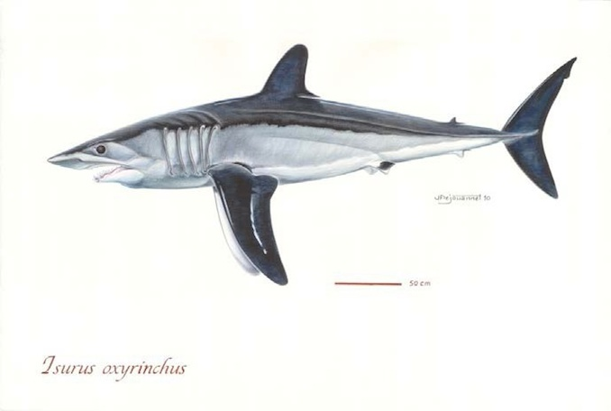 Shortfin Mako Sharks (Photo: Poisson et al, 2012)