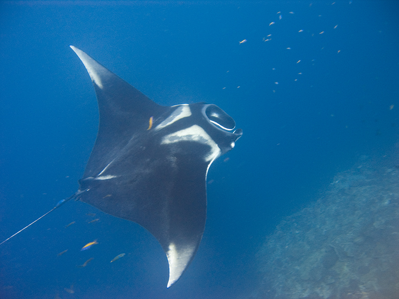 Reef and Giant Manta Rays