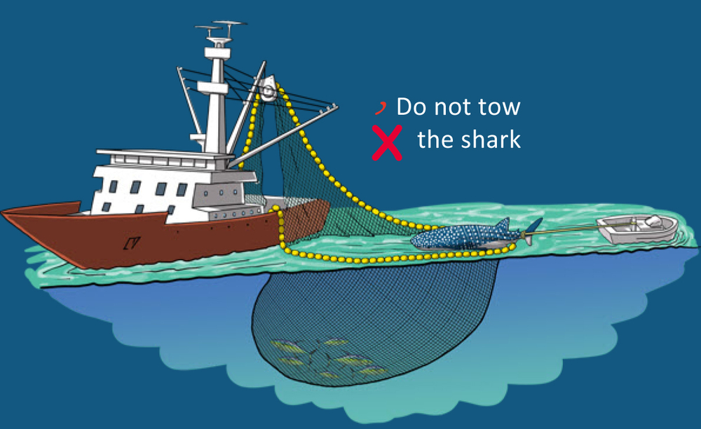 At no time should the whale shark be handled by its tail (e.g., lifted using the crane, or towed it with a speed boat). This can cause severe injury to the animal. (Photo: Poisson et al, 2012)