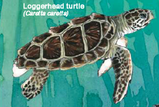 Loggerhead (Photo: FAO, 2009)