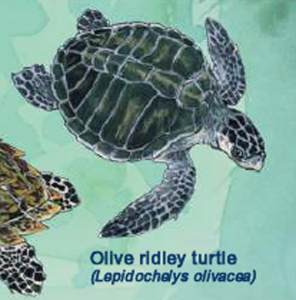 Olive Ridley (Photo: FAO, 2009)