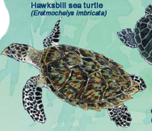 Hawksbill (Photo: FAO, 2009)