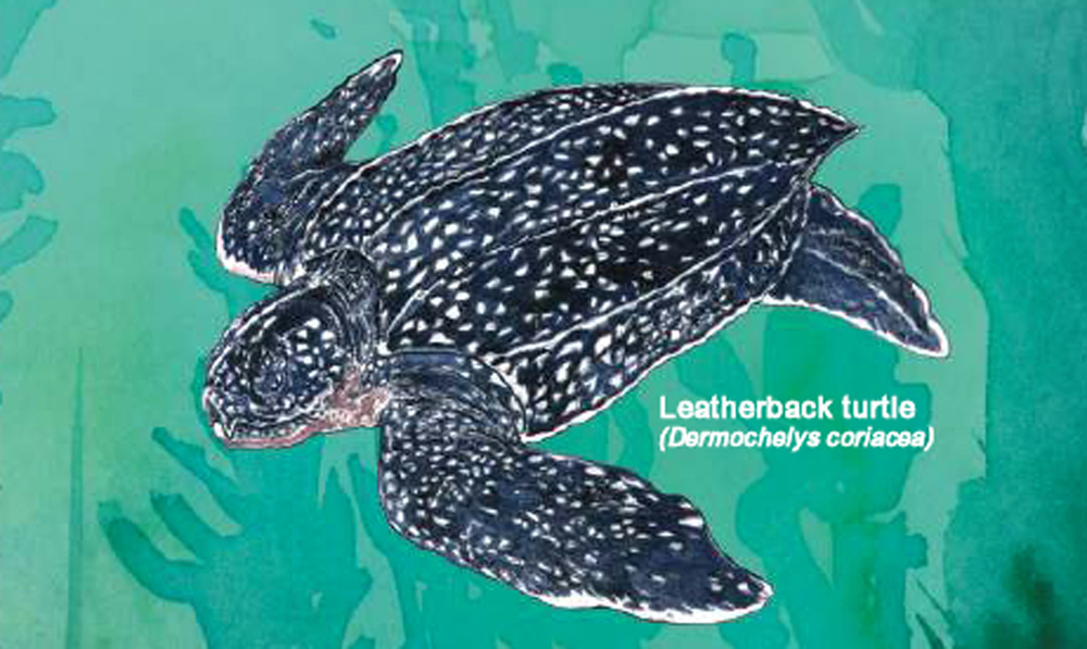 Leatherback (Photo: FAO, 2009)