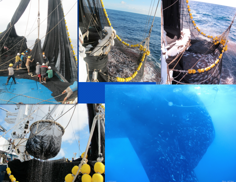 "Sacking up. A crew working with net to make sack as small as possible (top left), two shots of the sack of fish ready to be brailed (top middle and right), brailing (bottom left), and view from underwater of fish being ""sacked up"" (bottom right). (Photo: Jeff Muir)"