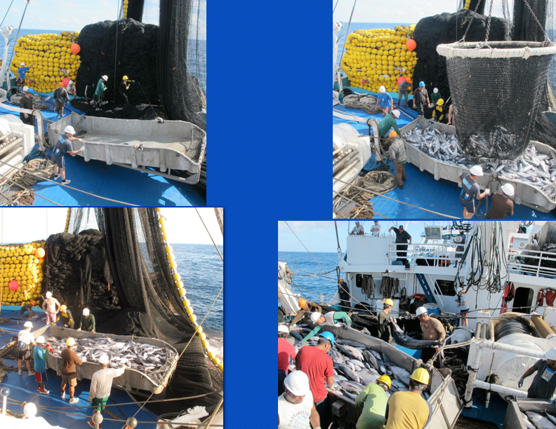 Use of a hopper. An empty hopper being readied for use (top left), hopper being filled with one 7 mt brail of catch (top right), crew sorting catch in hopper (bottom left), crew removing a blue marlin from hopper (bottom right). (Photo: Jeff Muir and Fabien Forget)