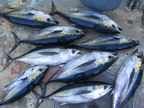 yellowfin and bigeye tuna can be hard to distinguish especially when they are not yet