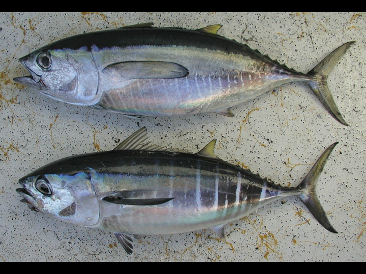 At the same length, juvenile yellowfin (top) and bigeye (bottom) look similar but not identical. (Photo: David Itano)