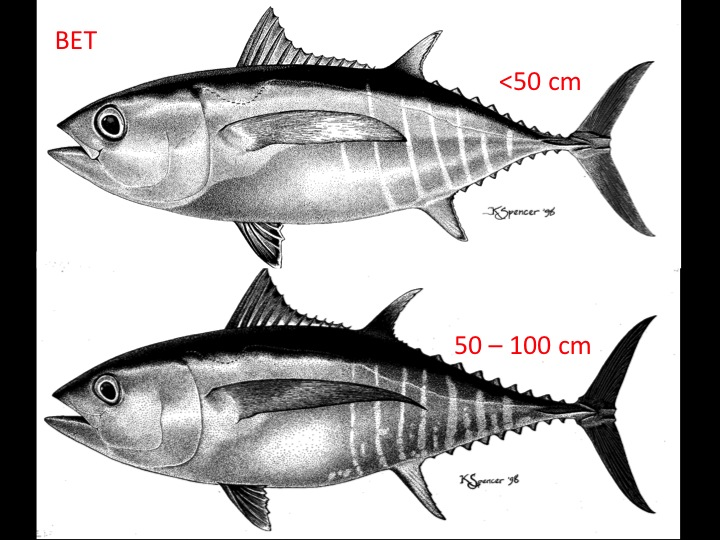 Bigeye tuna at shorter than 50 cm (top) and between 50 and 100 cm (bottom) (Photo: K. Schaefer)