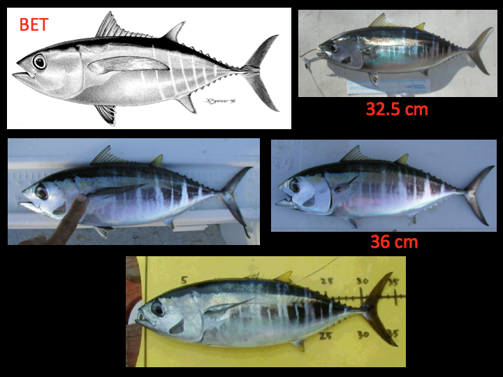 Examples of bigeye tuna under 50 cm. Note that the white lines that are both irregularly spaced and sized, with few to no rows of dots present, and the demarcation between the marked and unmarked region is generally not clear. (Photo: David Itano)