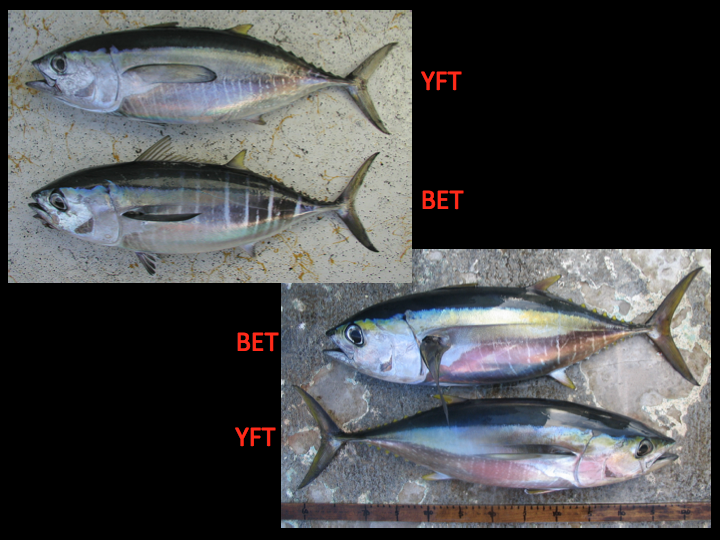 Comparison of small yellowfin (top and bottommost fish) and small bigeye (second and third fish from the top). Though there are characteristics of coloration that can distinguish bigeye from yellowfin, the colors fade very quickly after death and therefore are not a reliable means when identifying species during a purse seine fishing operation. Note that the pink color is a reflection in the photo and not a color of the fish. (Photo: David Itano)