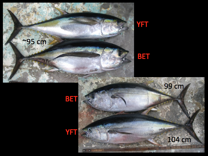 Examples of larger yellowfin (top and bottommost fish) and bigeye (second and third fish from the top). In the top photo, note the yellowfin's smaller head and eye size. When undamaged, the pectoral fin for fish under 150 cm can be a useful secondary diagnostic, since the bigeye's is longer, more flexible, and tapers to a thin point. (Photo: David Itano)